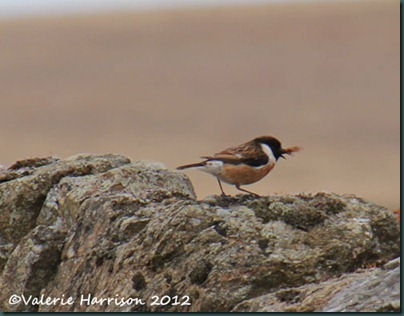 47-stonechat-and-emperor