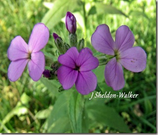 purple wild flowerGEDC0694