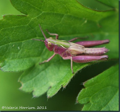 meadow-grasshopper