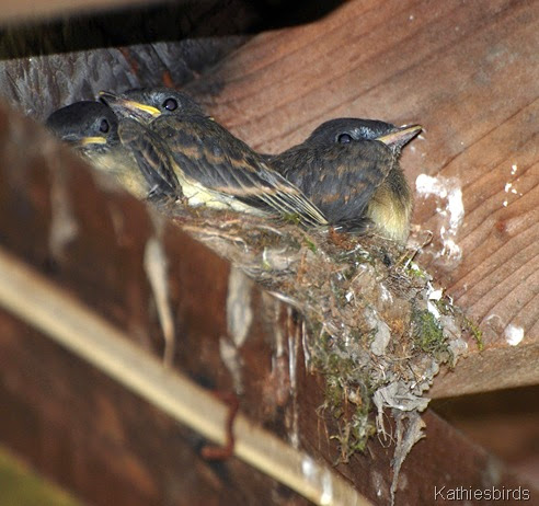 11. phoebe chicks-kab
