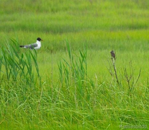 10. seaside sparrow-kab
