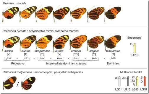 mariposa-alas