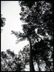 12 - Tall Pines