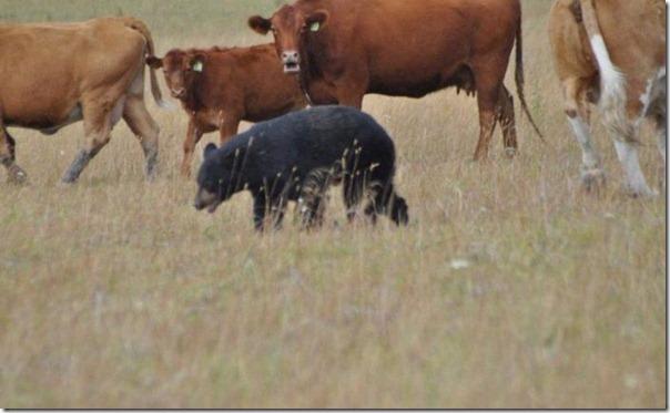 Vacas vs Urso (6)