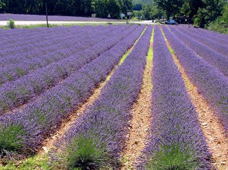 Lavender 4