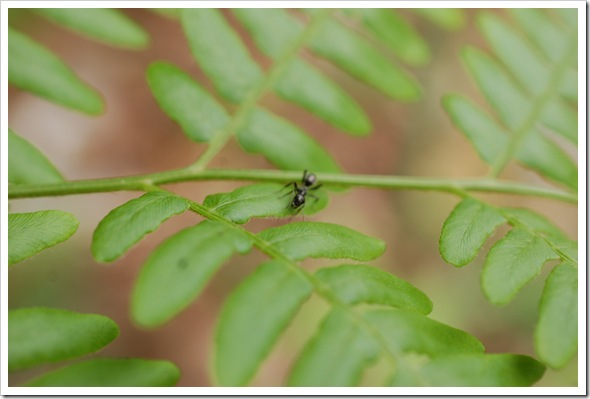 FERN MACRO ANT (5)