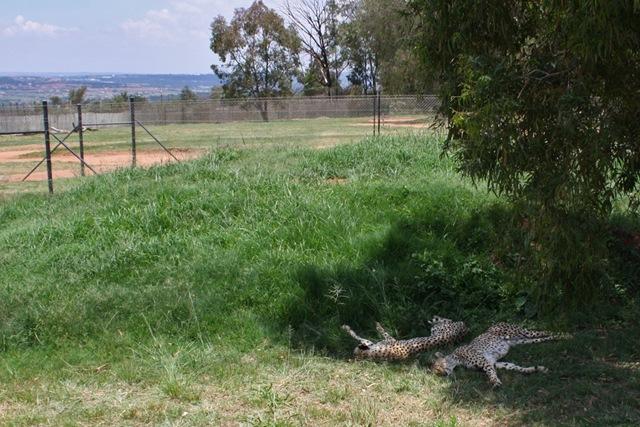 Cheetahs, Lion Park Johannesburg