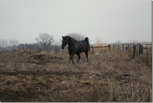 horses 135a