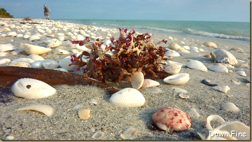 Beach walks sanibel_158