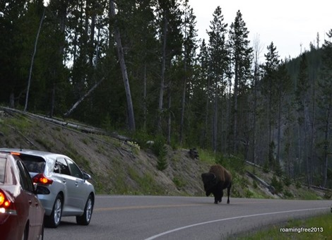 The bison likes the centerline
