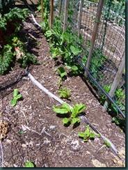 Garden Folly VI, beets, beans, peas 5-14 002