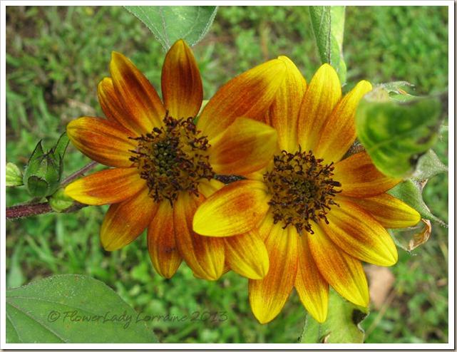 06-27-sunflowers