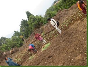 pasture cultivation