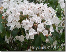 Kalmia latifolia - Mt Laurel