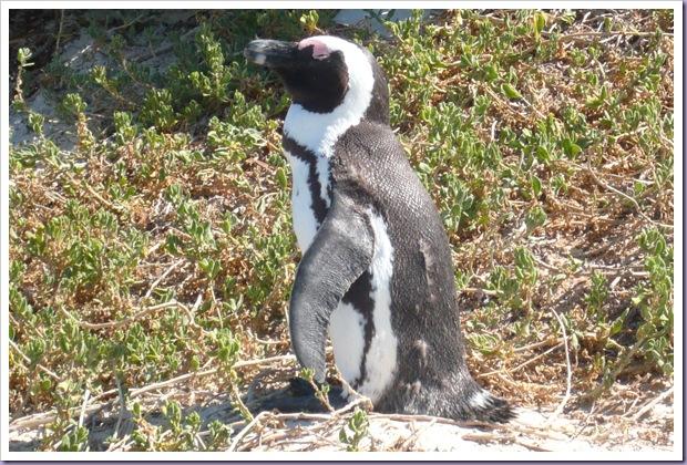 Cape-Town-África-do-Sul-Pinguin