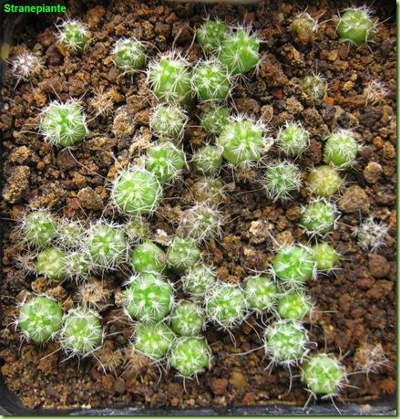 Stenocactus multicostatus-2011-06-12_00002IMG_1029