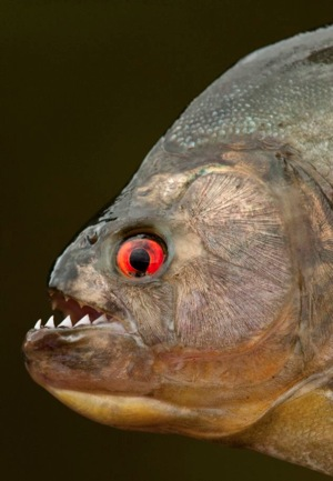 Black Piranha.jpg