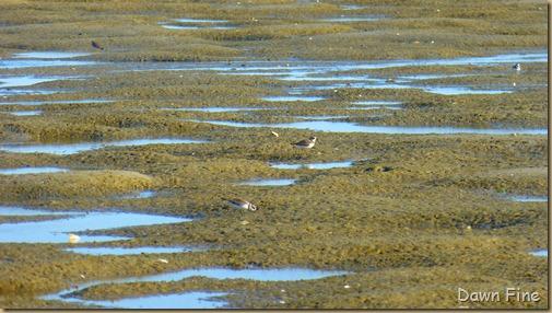 tern island birding_098