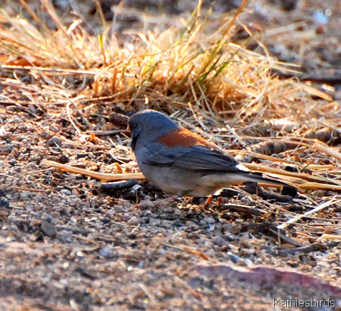 7. gray-headed junco-kab