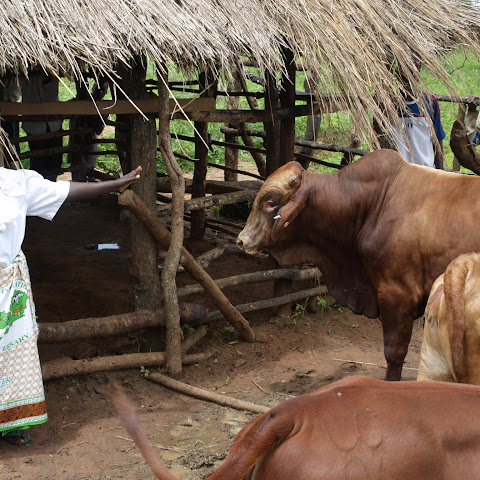Many rural Zambians keep livestock such as cows.