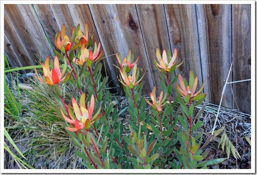 130213_Leucadendron-Safari-Sunset_03