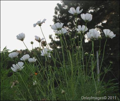 tall wildflowers0825 (4)