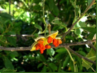 Kiggelaria_africana
