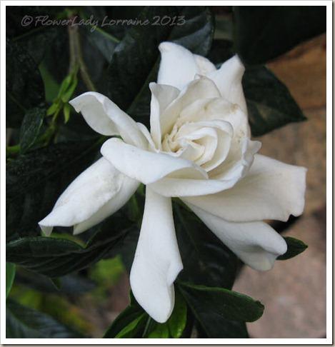 01-28-gardenia2