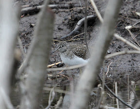 An elusive Solitary Sandpiper on the mud in the bog