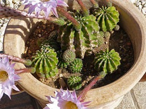 kaktus_01
