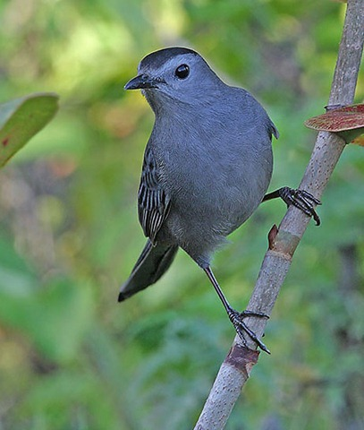 gray-catbird--tom-munson