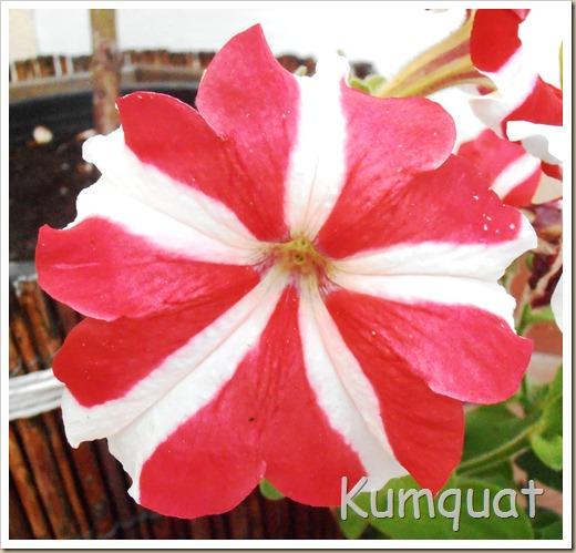 petunias 5