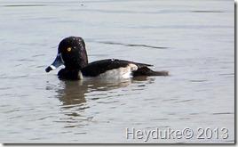 Llano Estero State Park Ring-necked Duck