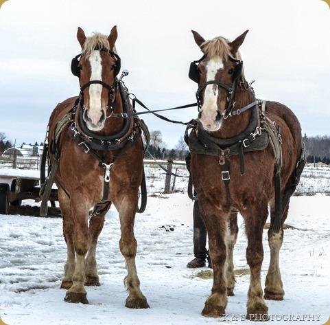 BELGIAN HORSES 2013 (36)
