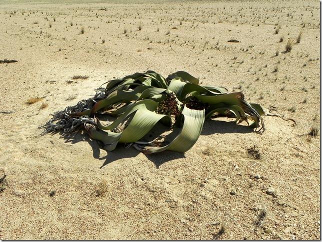 Welwitschia_DSCN6476