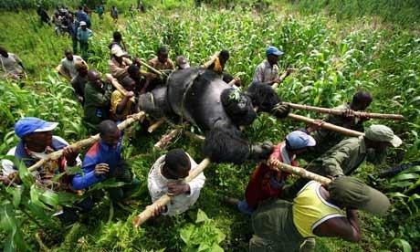 Congo-gorilla-poaching-001
