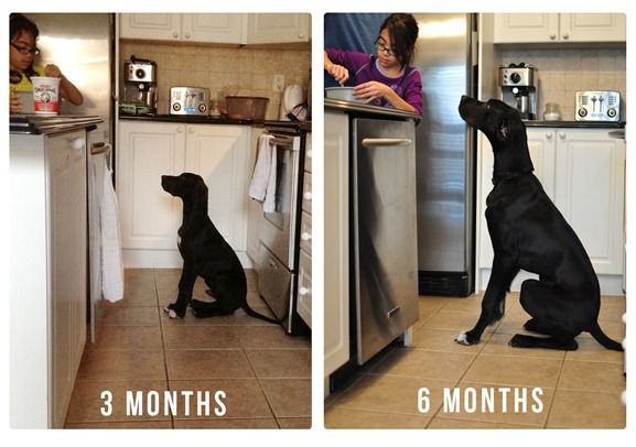 great dane growth