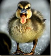 th_baby-duck-talking