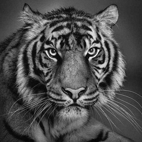 Desenho de tigre feito à lápis