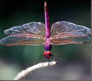 Amazing Pictures of Animals, photo Nature, exotic, funny ,incredibel Zoo, Dragonfly, Insecta, Alex (16)