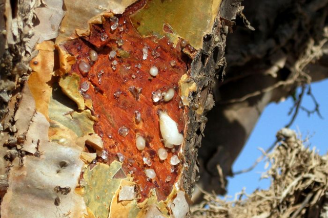 The Boswellia tree, which produces a fragrant resin which is used in incense and perfume. Its numbers are declining due to fire, grazing, and insect attack. AAP / John Coomber / file photo