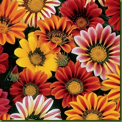 Gazania Sunshine Mix