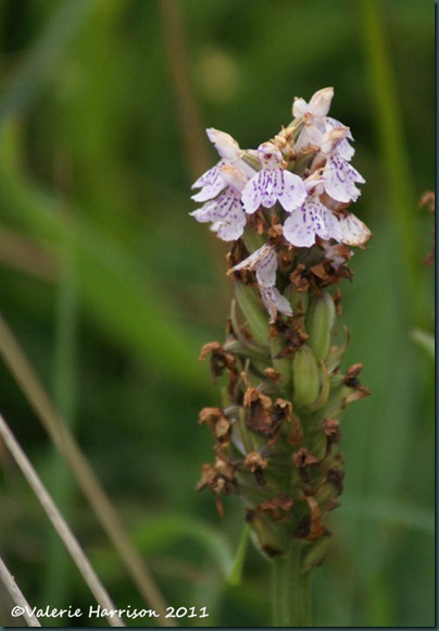 40-Heath Spotted-orchid Dactylorhiza maculata