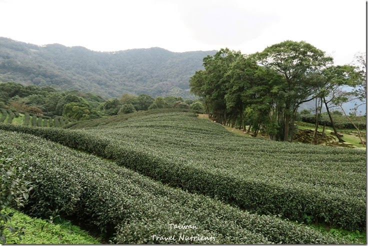 三峽熊空茶園 (18)