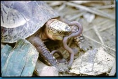 turtle eating worm