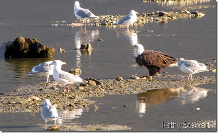 Eagles and Gulls