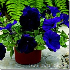 petunia_ramblin_nu_blue_2