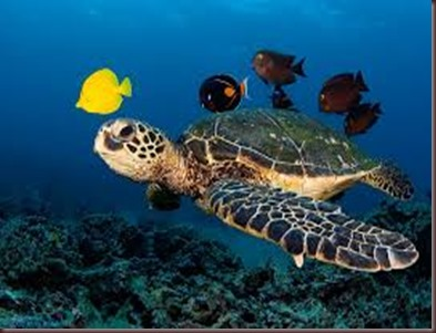 Amazing Pictures of Animals Caretta Caretta  Loggerhead sea turtle.Alex (9)