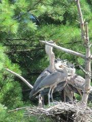 great blue heron 3 in tree.3. 8.6.2013