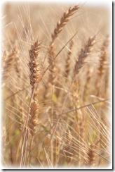 wheat fade